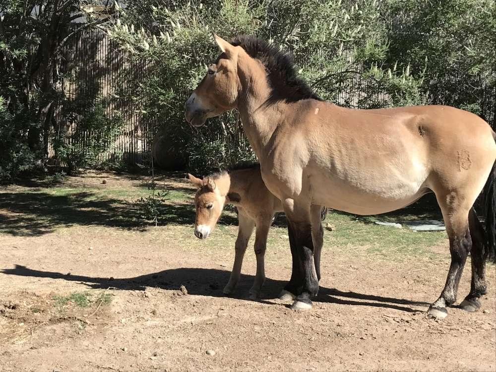 Saving the endangered Przewalski's Horse